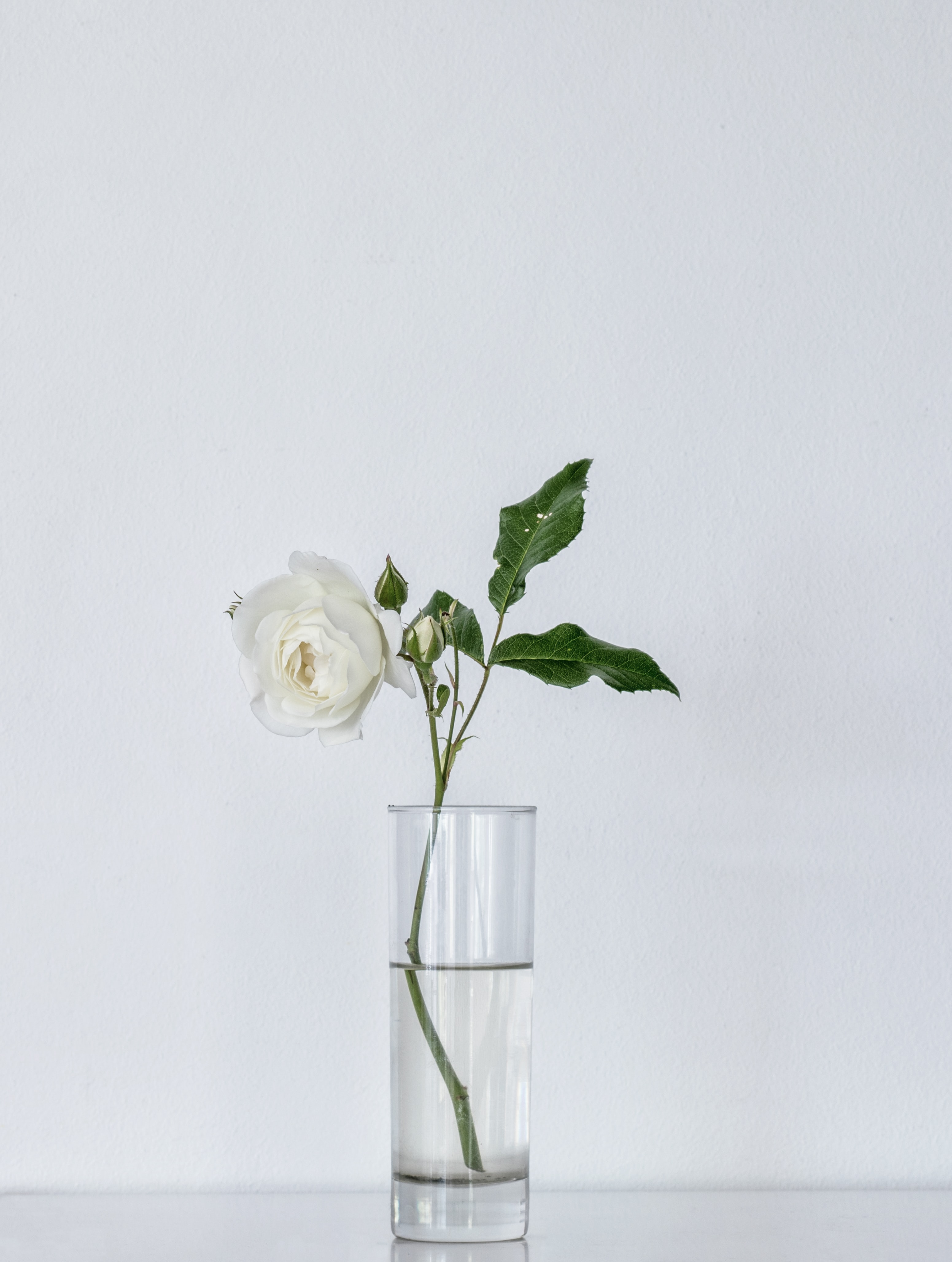 white rose on glass vase