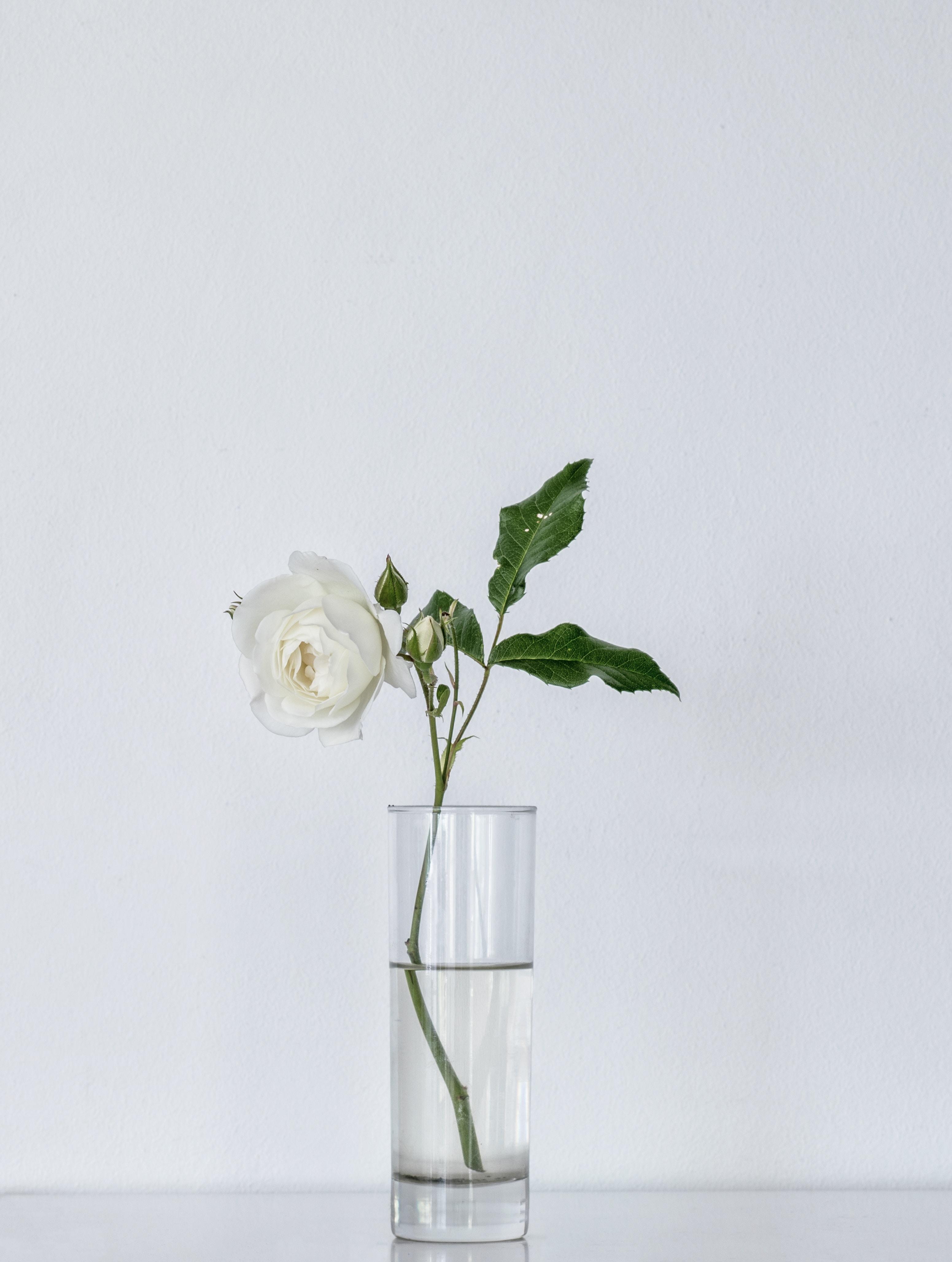 white rose on glass vase