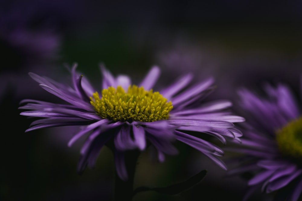 purple Daisy flower phoot
