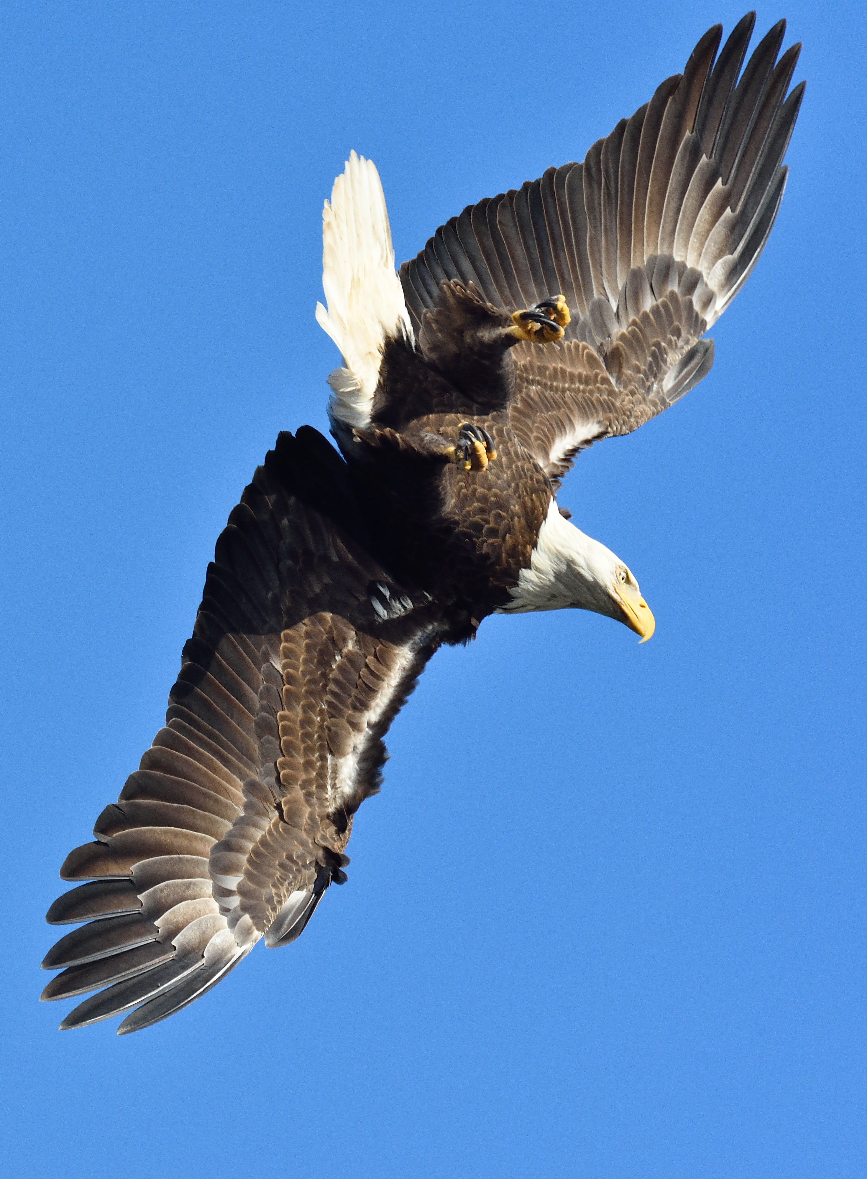 bald eagle in mid air during day
