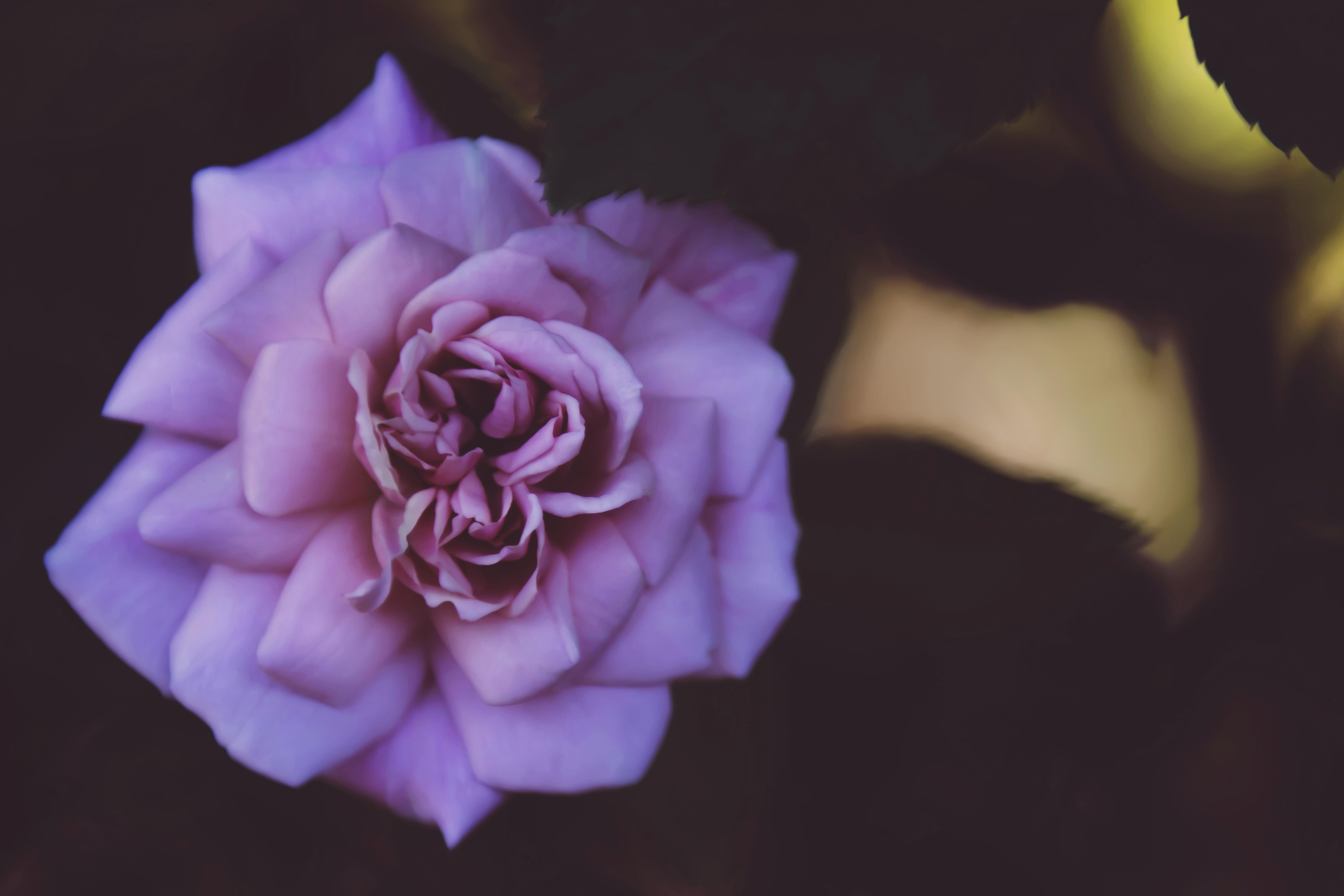 purple flower on black surface