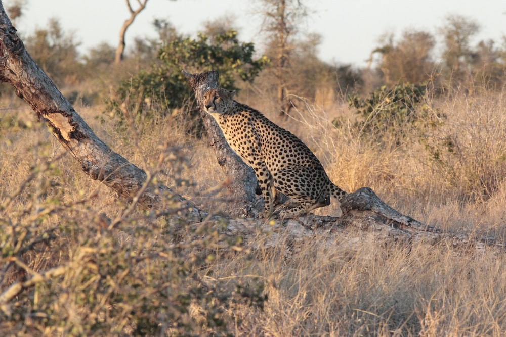 cheetah in wilderness