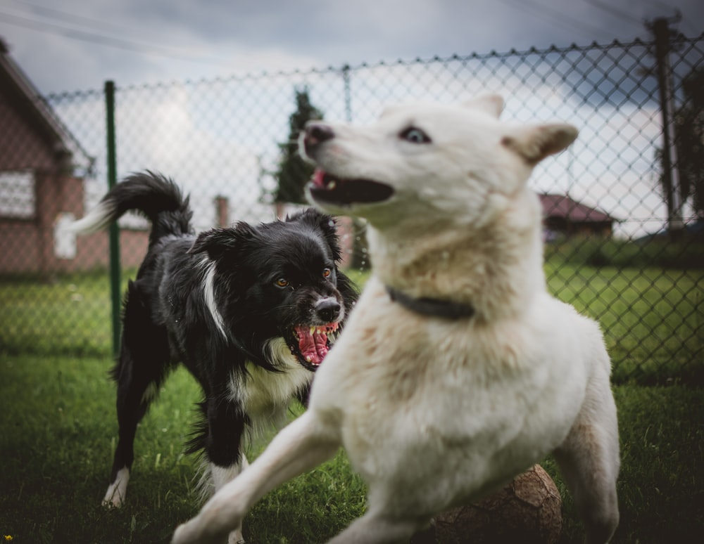two black and white dogs near link fence