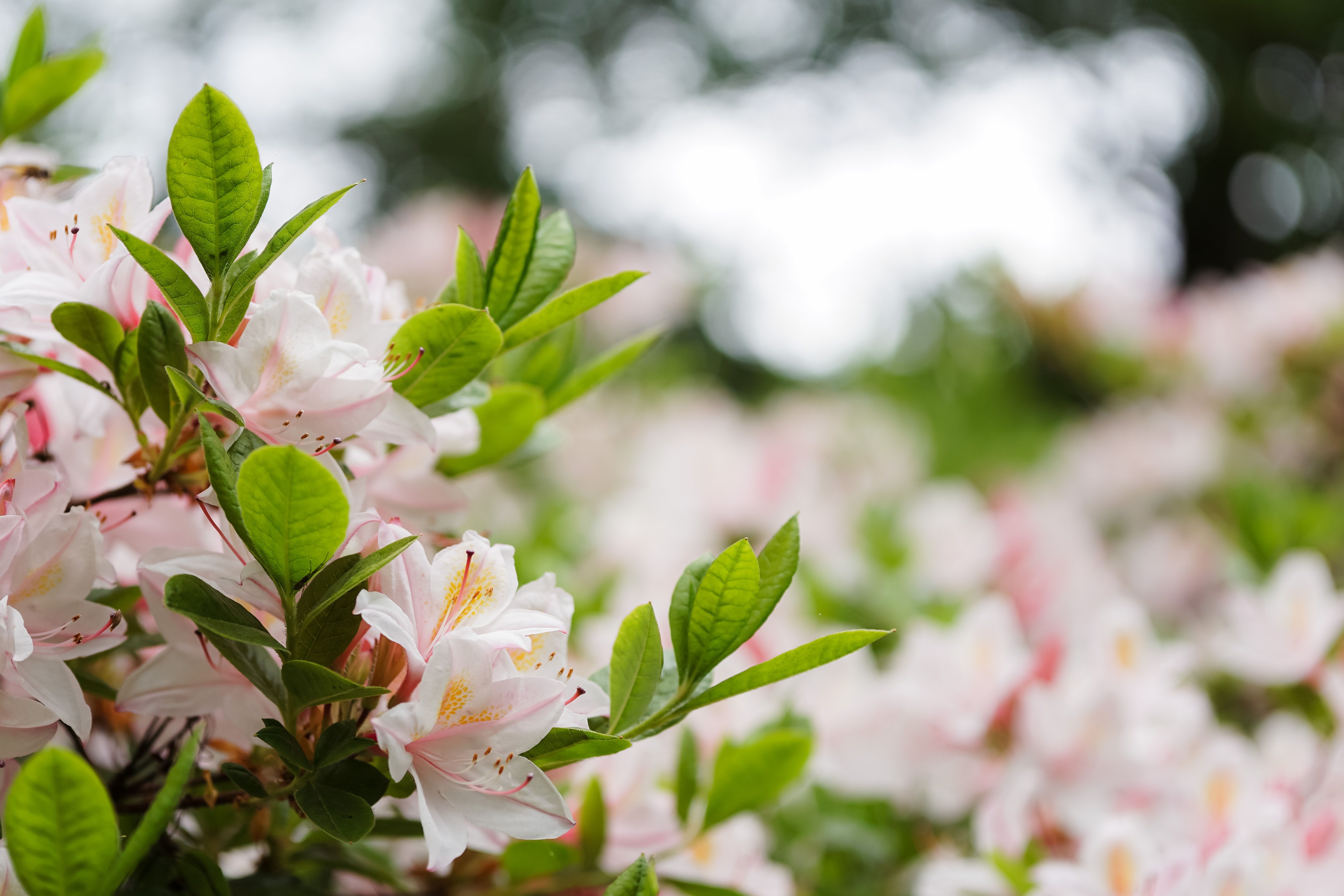 shallow focus photography of white-and-pink petaled flowers