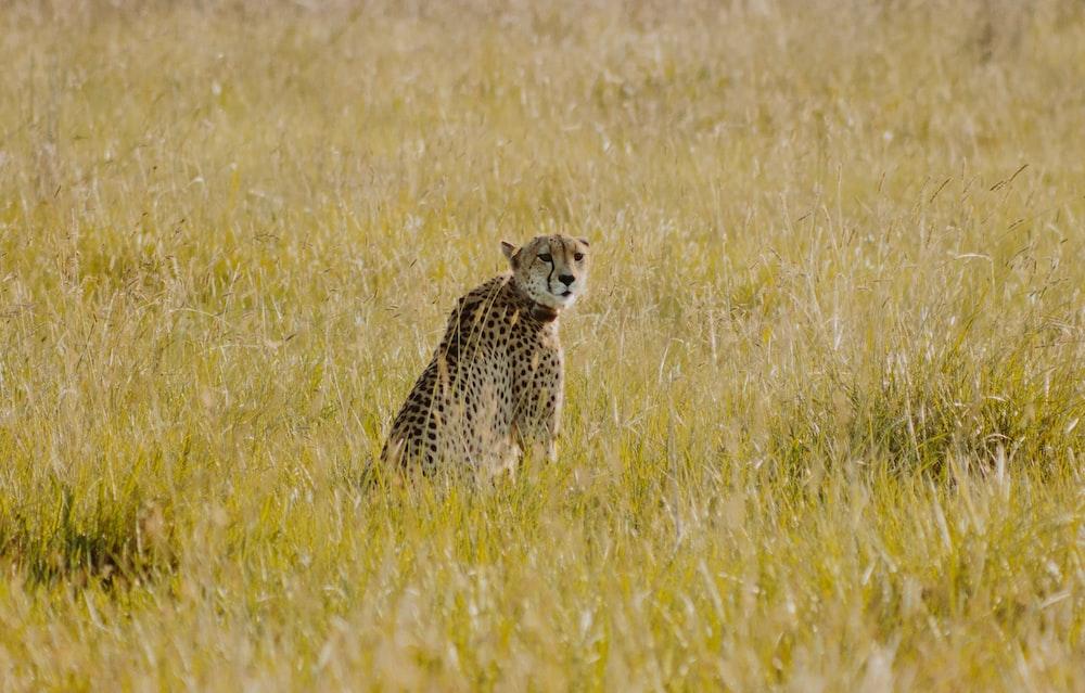 cheetah sitting on green grass