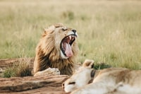 roaring lion beside sleeping lioness