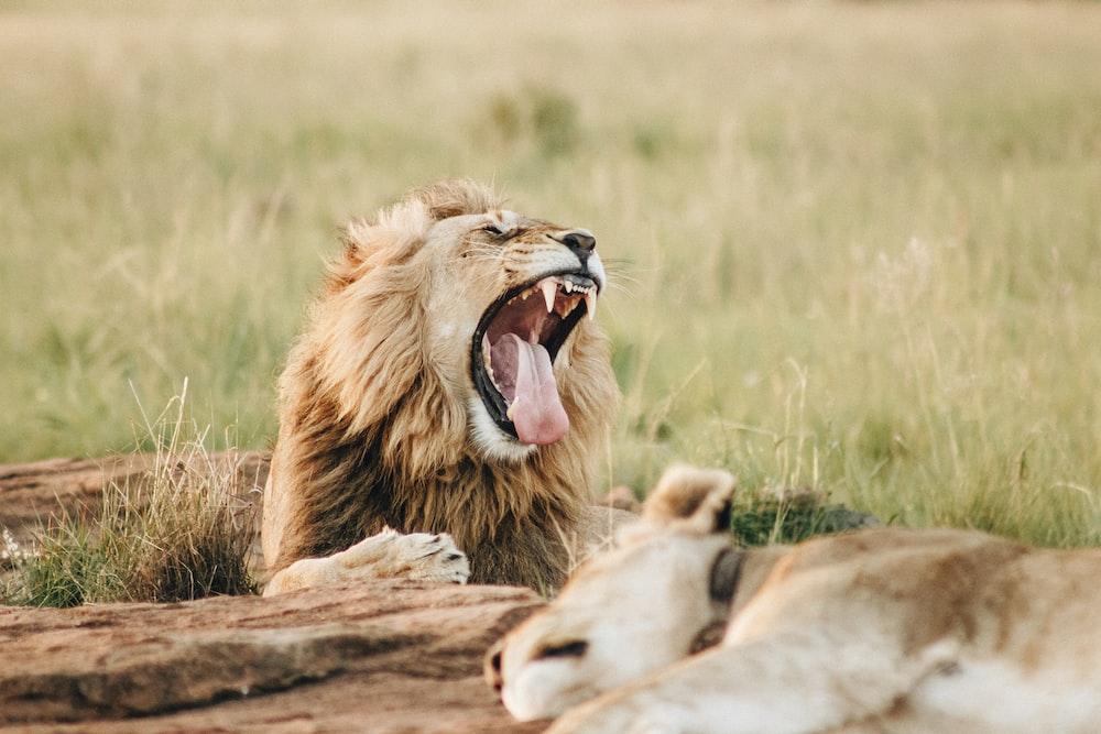 roaring lion beside sleeping lioness