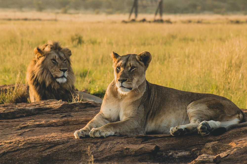 lioness reclining on soil in front of lion