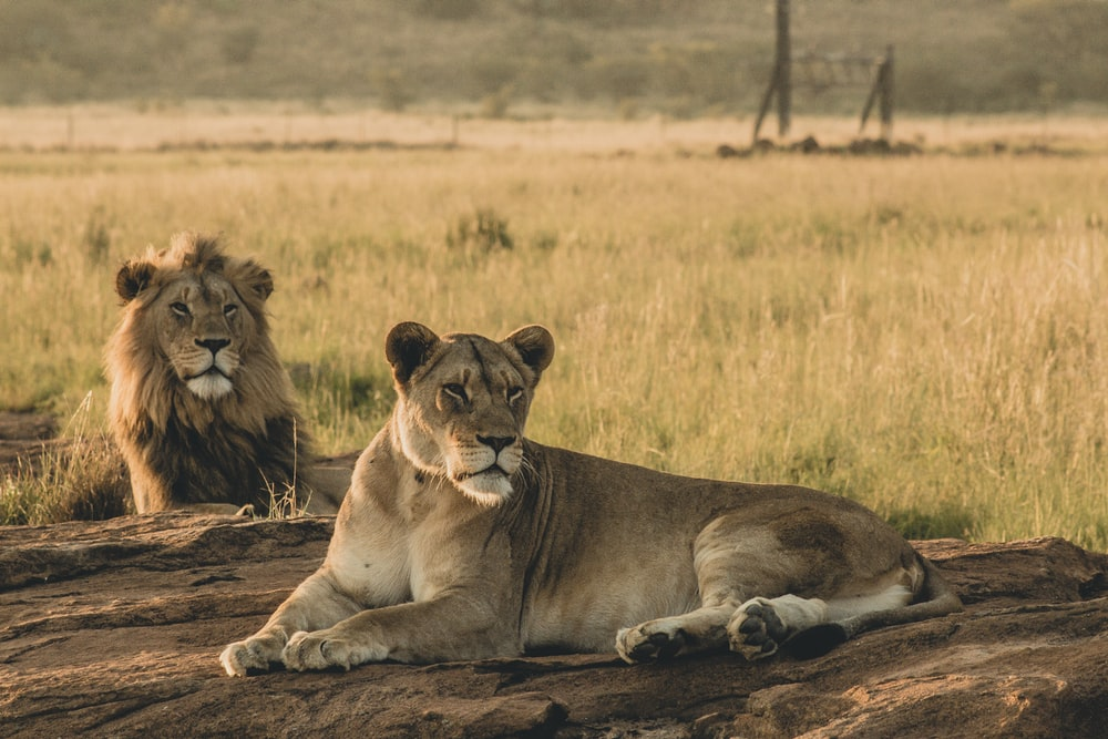 two brown lion lying on brown surface