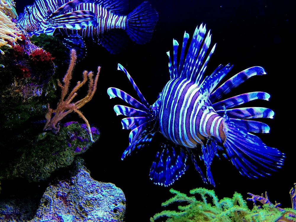blue and white fish