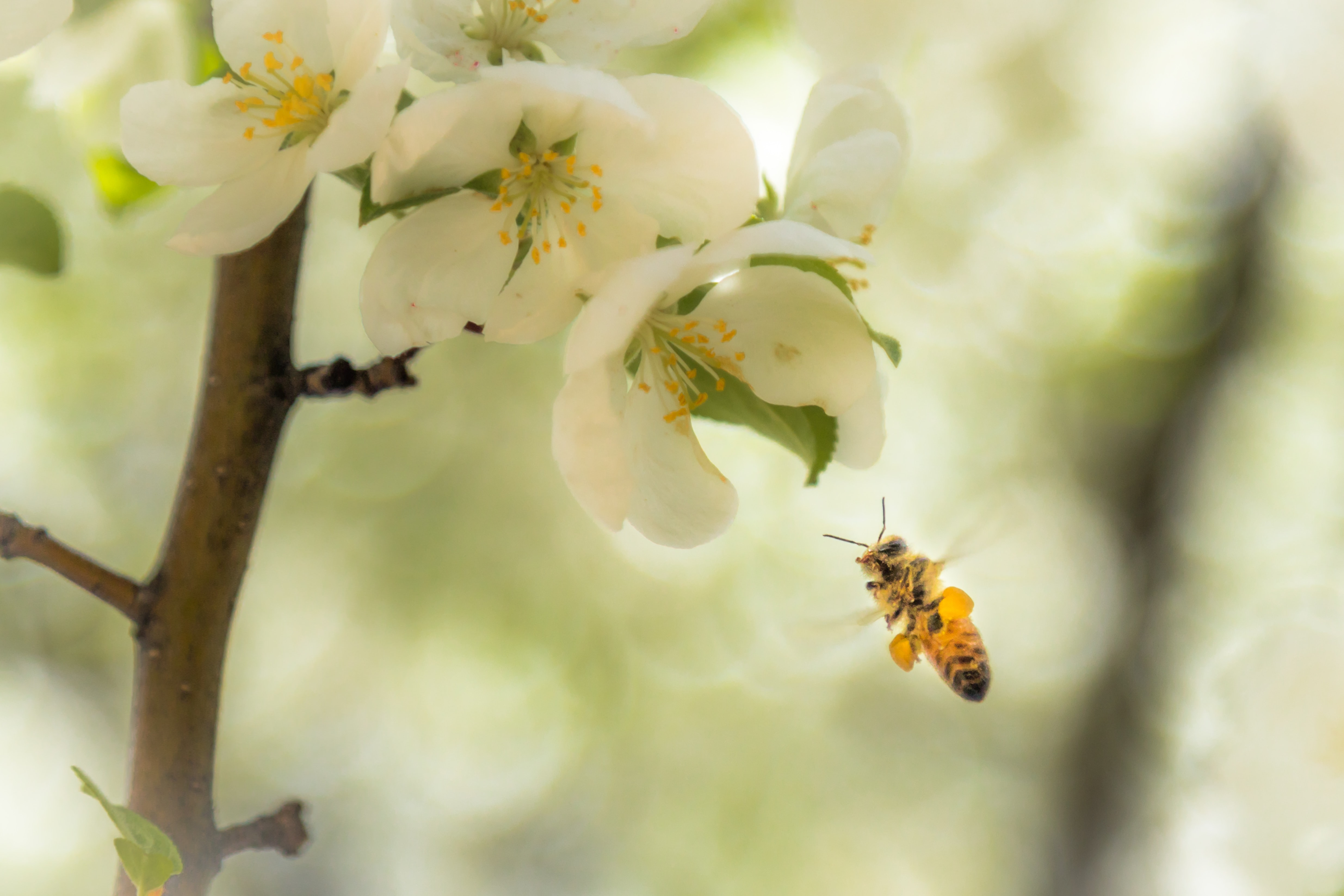 selective focus photography of brown bee approaching in white petaled flower