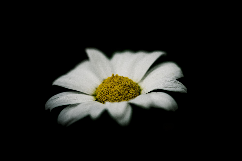 white daisy against black background