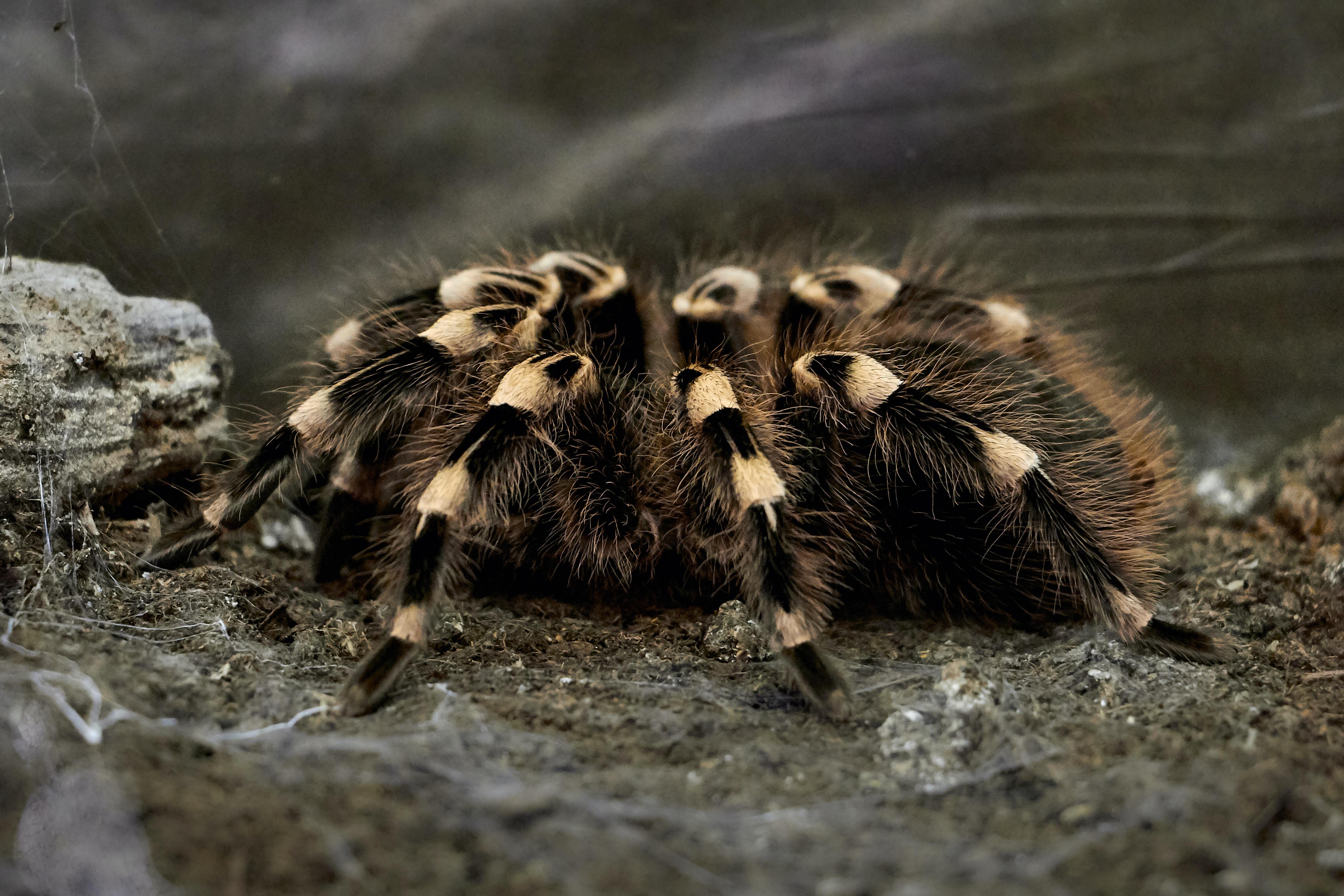 black and beige tarantula on brown soil