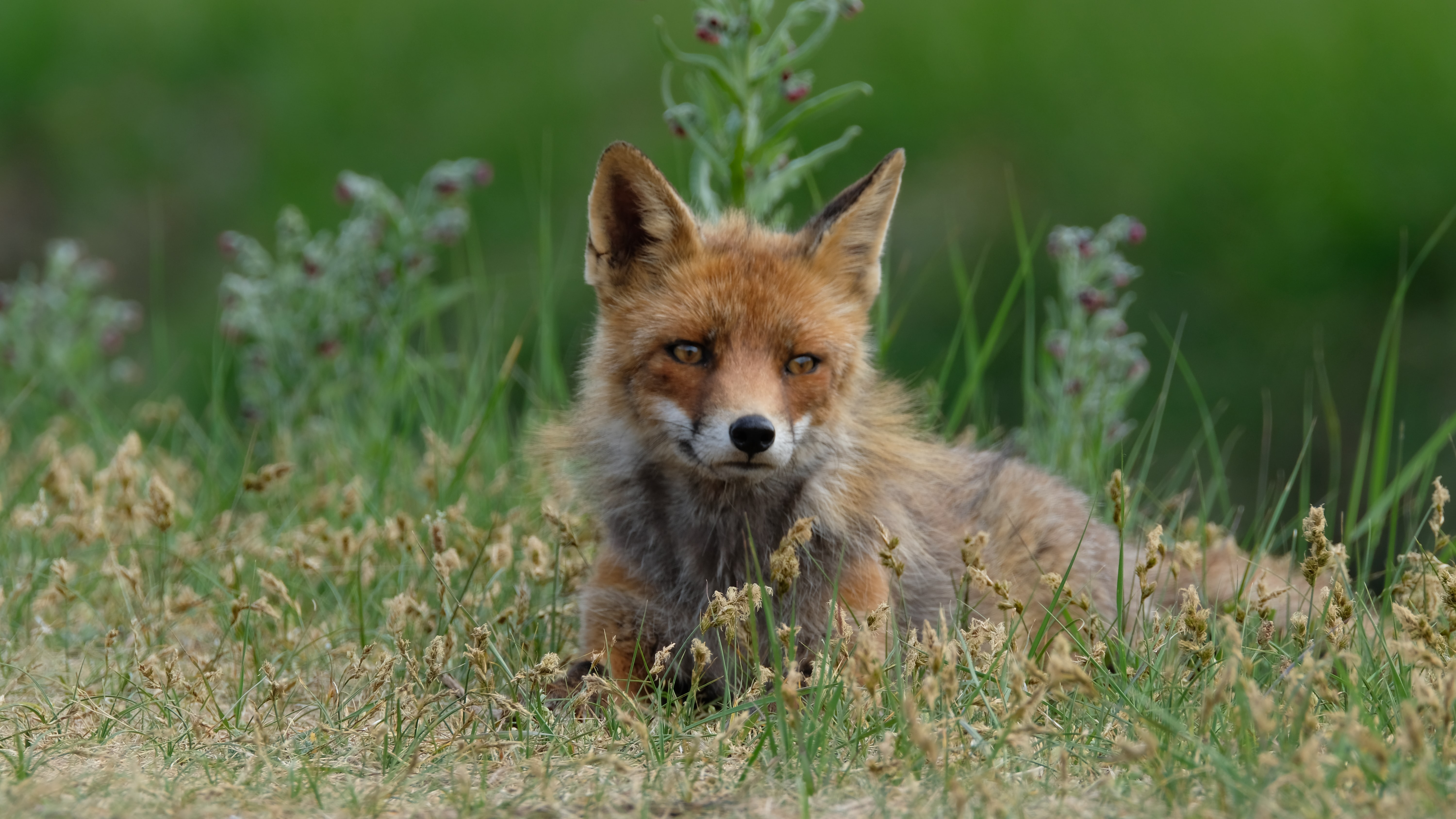 wildlife photography of brown fox
