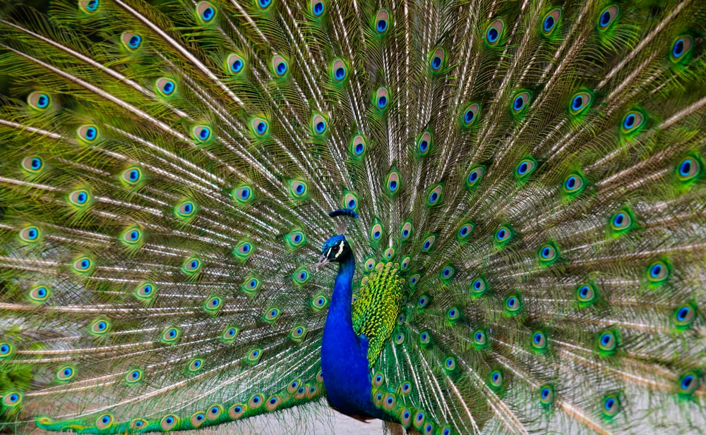 photo of blue and green peacock