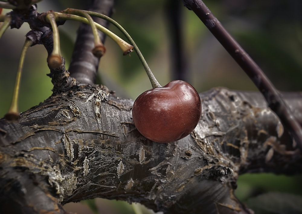shallow focus photography of red cherry on tree branch
