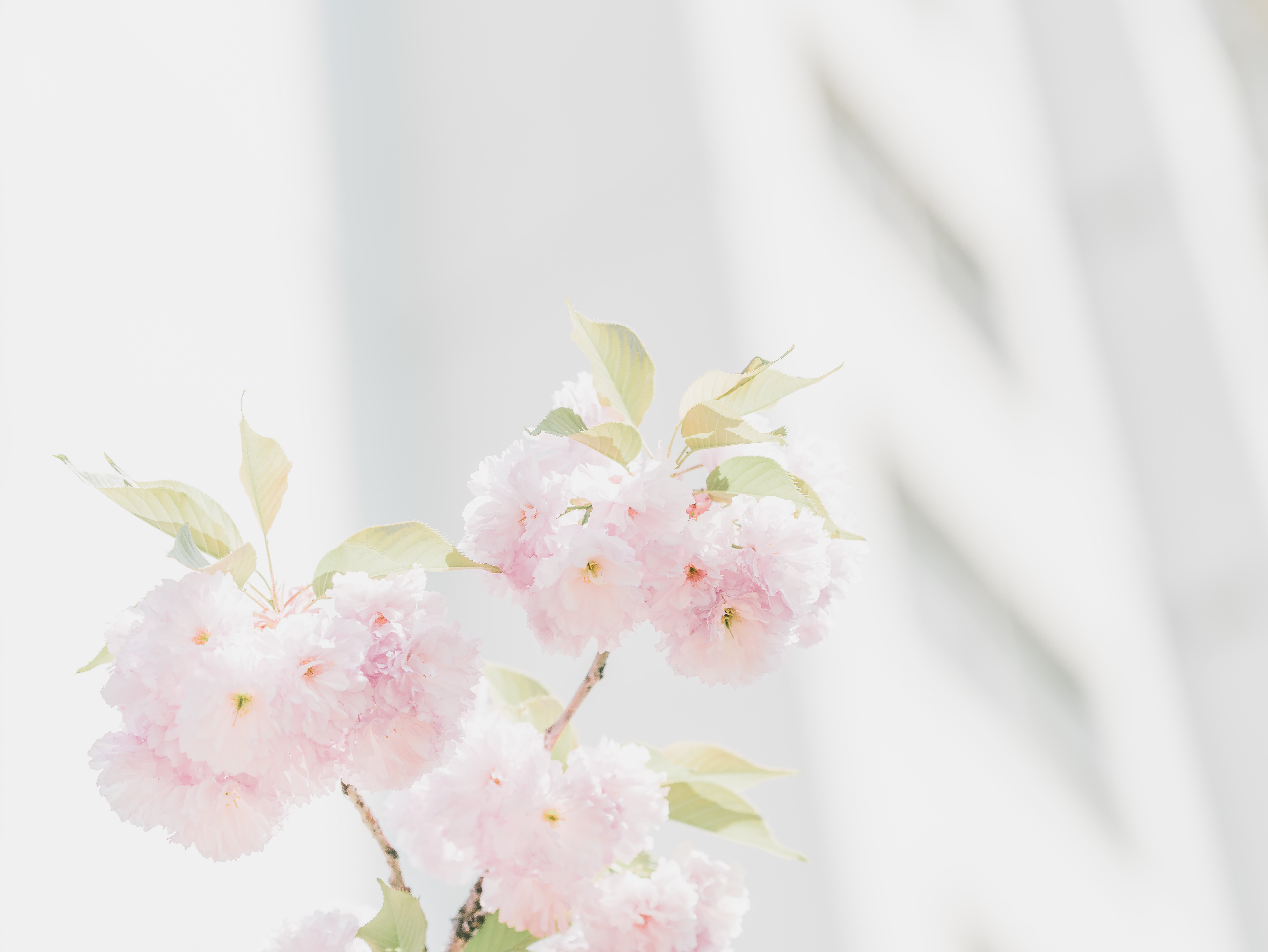 pink petaled flowers on white background