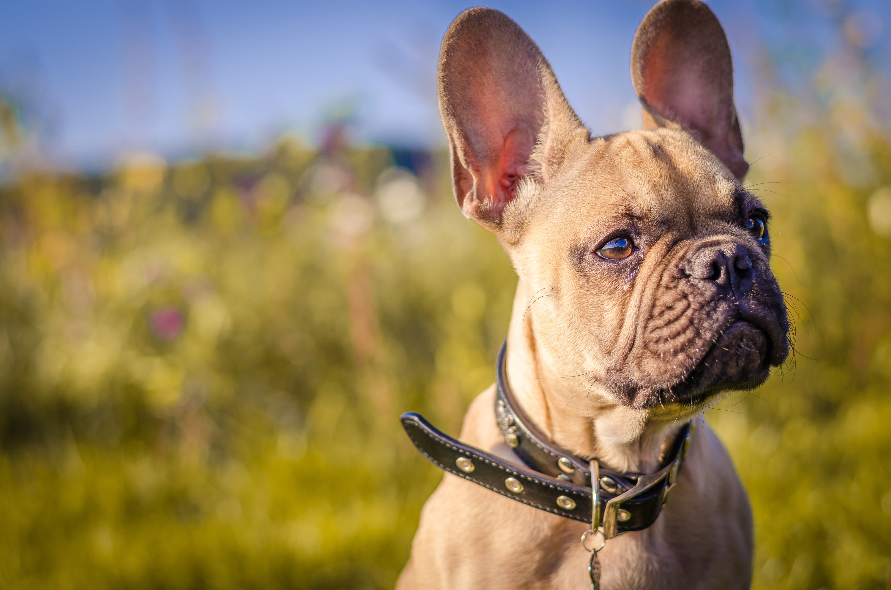 selective focus of brown French Bulldog