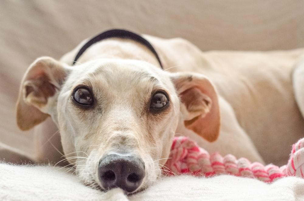 beige dog lying on white textile