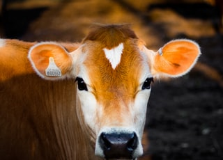 selective focus photography of brown cow