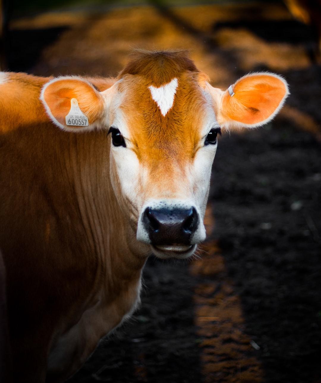 """Cow"" é ""vaca""? Armadilhas do literalismo"