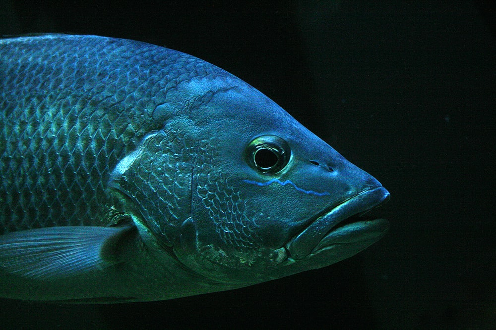 closeup photo of gray pet fish