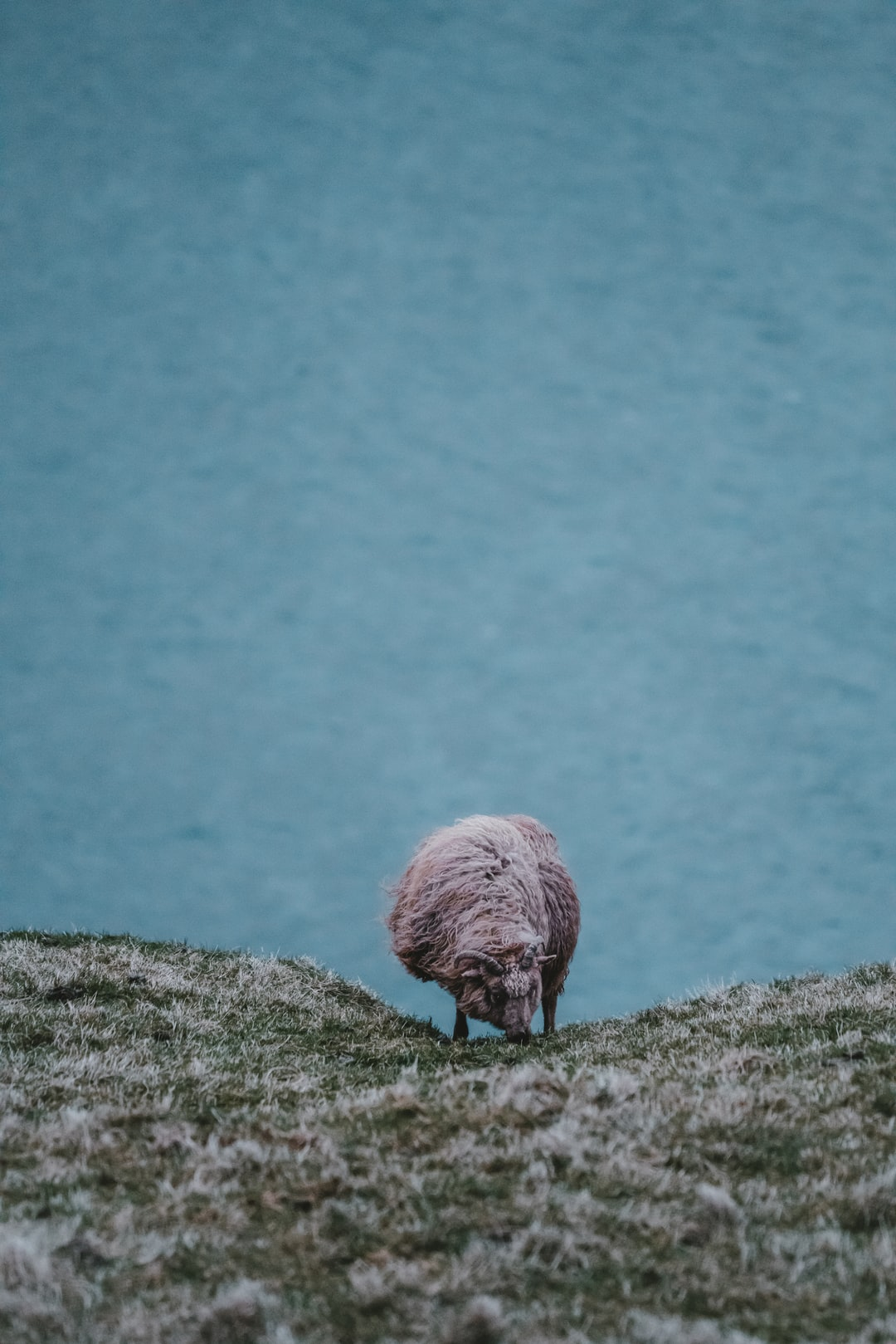 Faroese sheep grazing