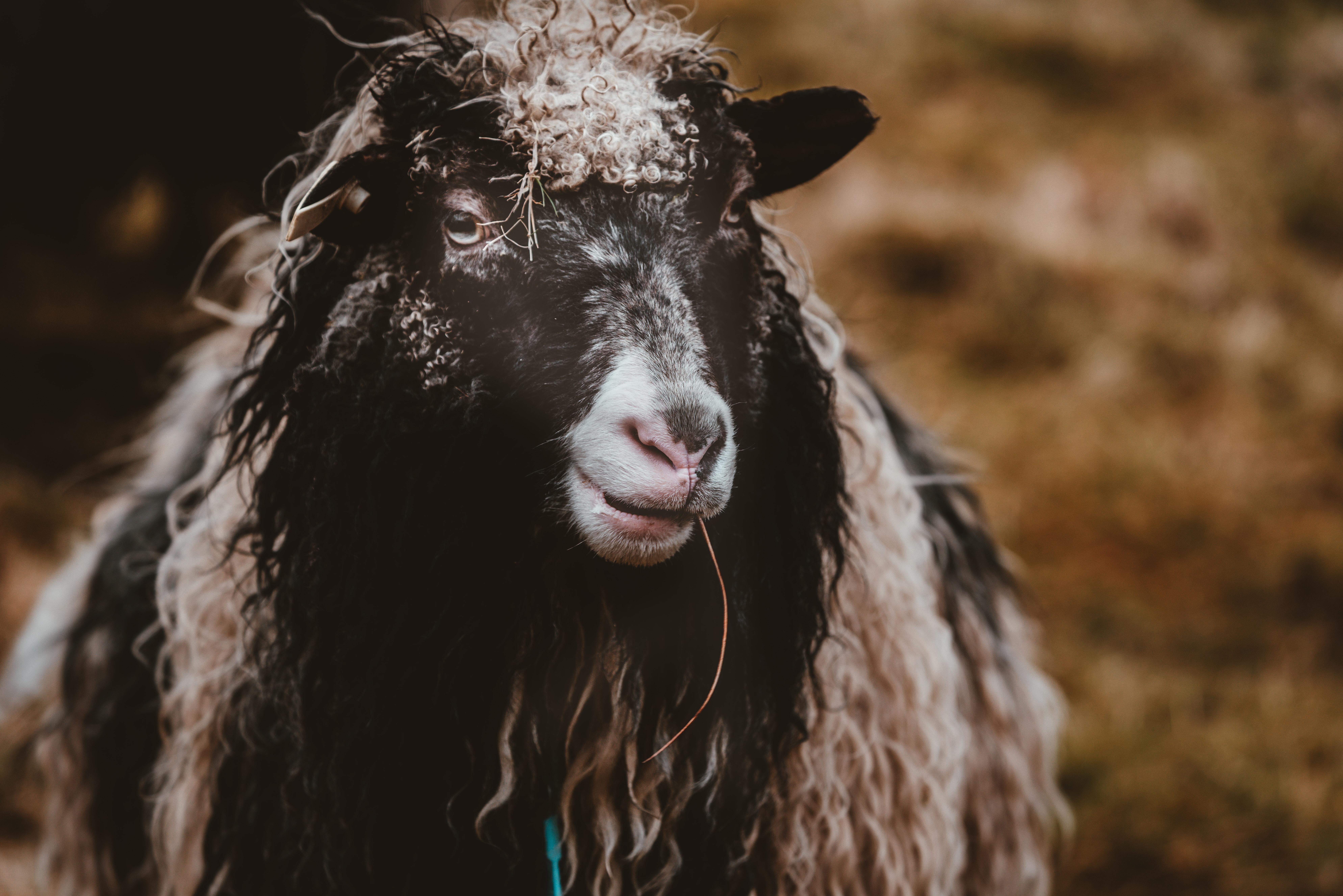 closeup photo of black and tan goat