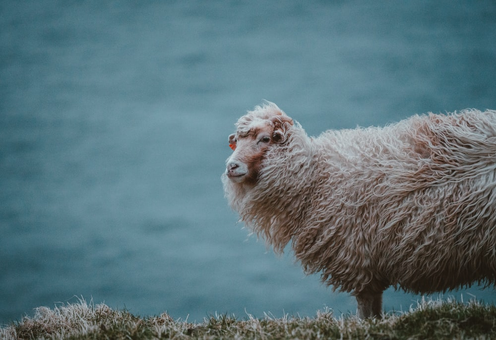 sheep standing at hill in a distance of body of water