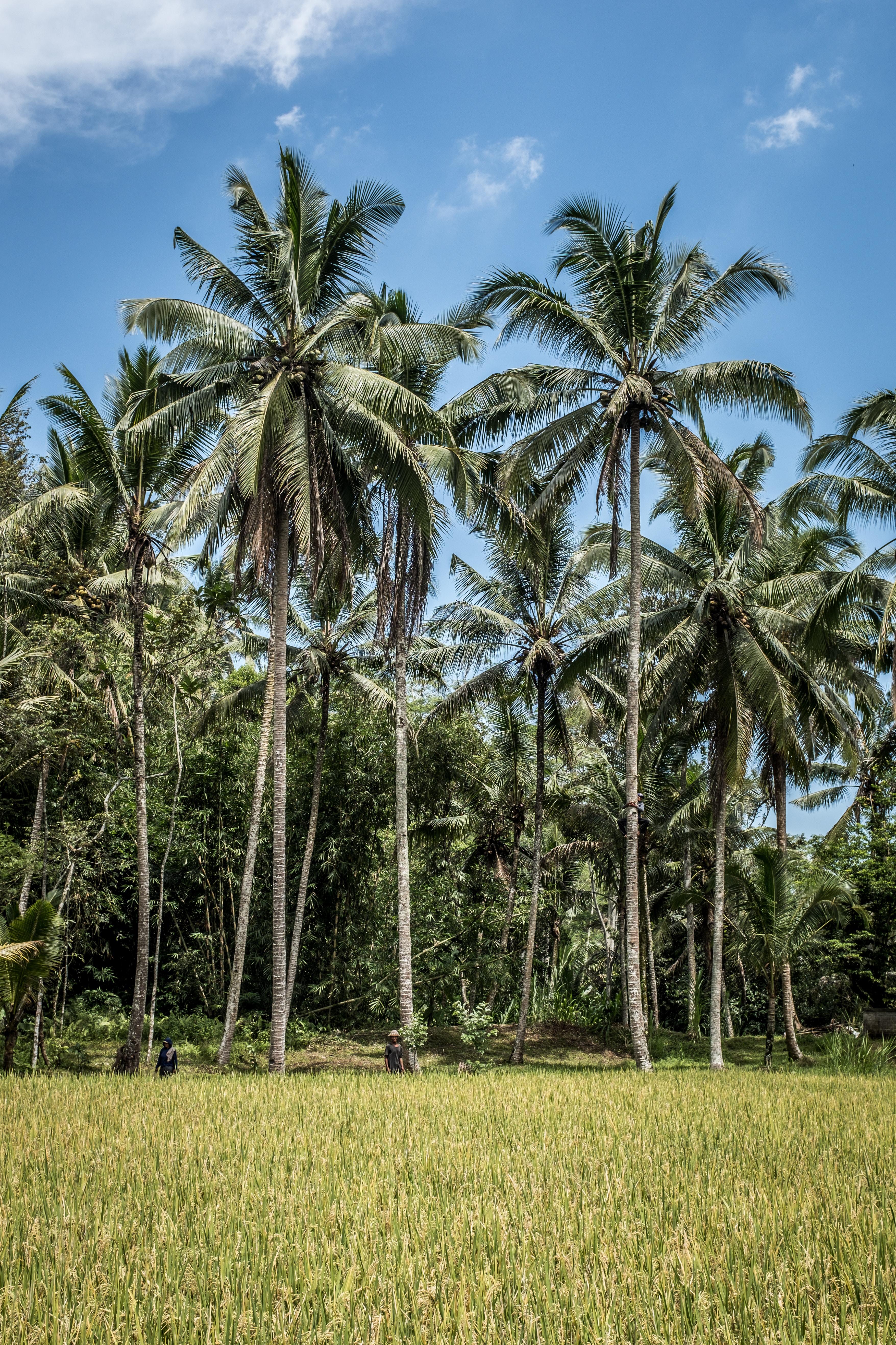 coconut trees on green grass field