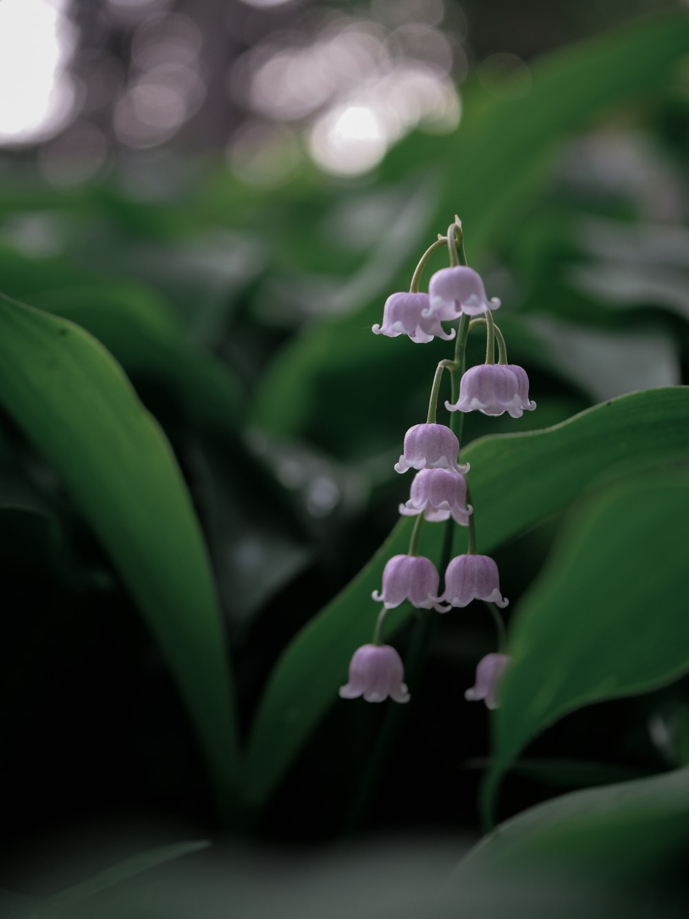 Lily Of The Valley Flower Pictures Download Free Images On Unsplash