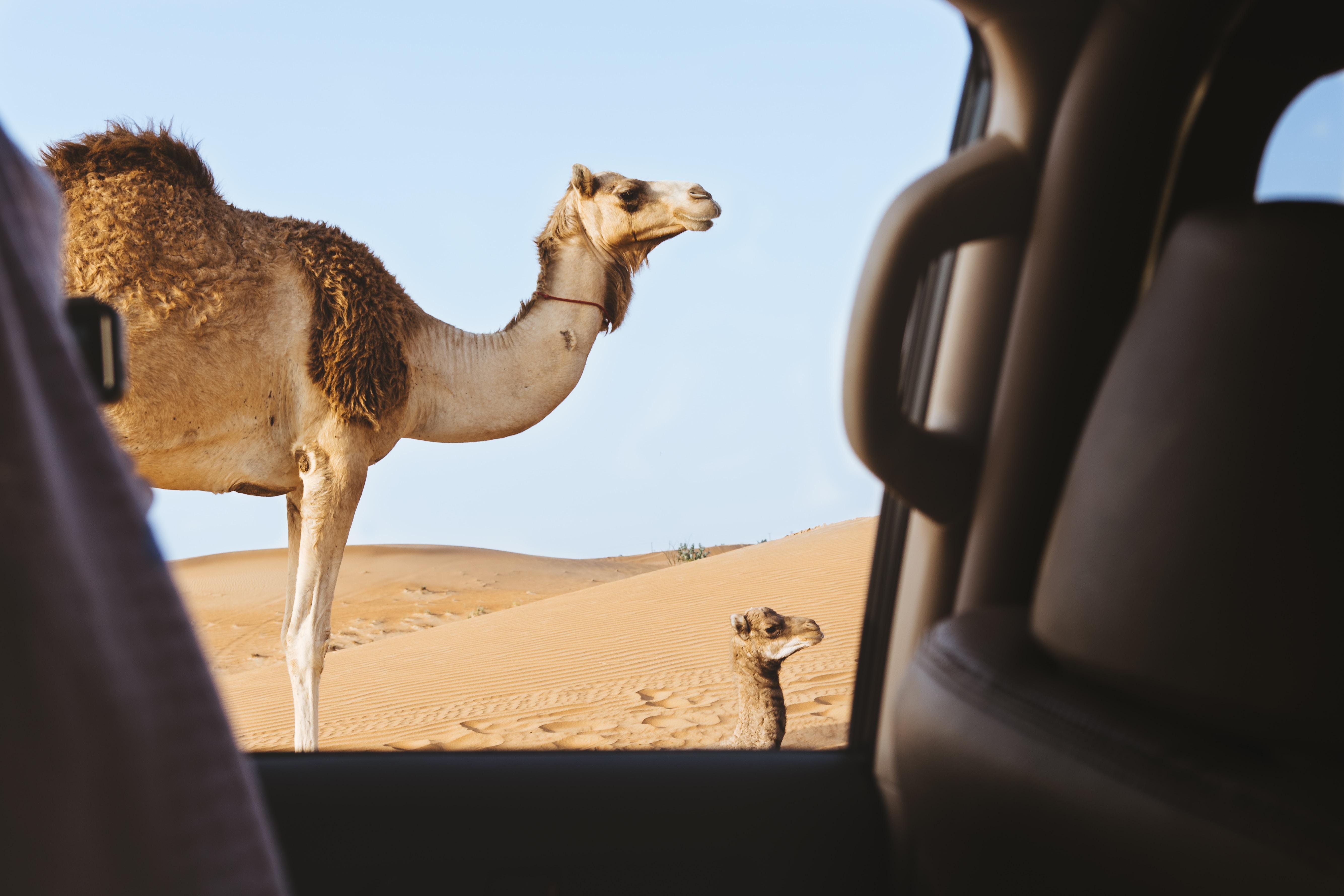 brown camel in the desert