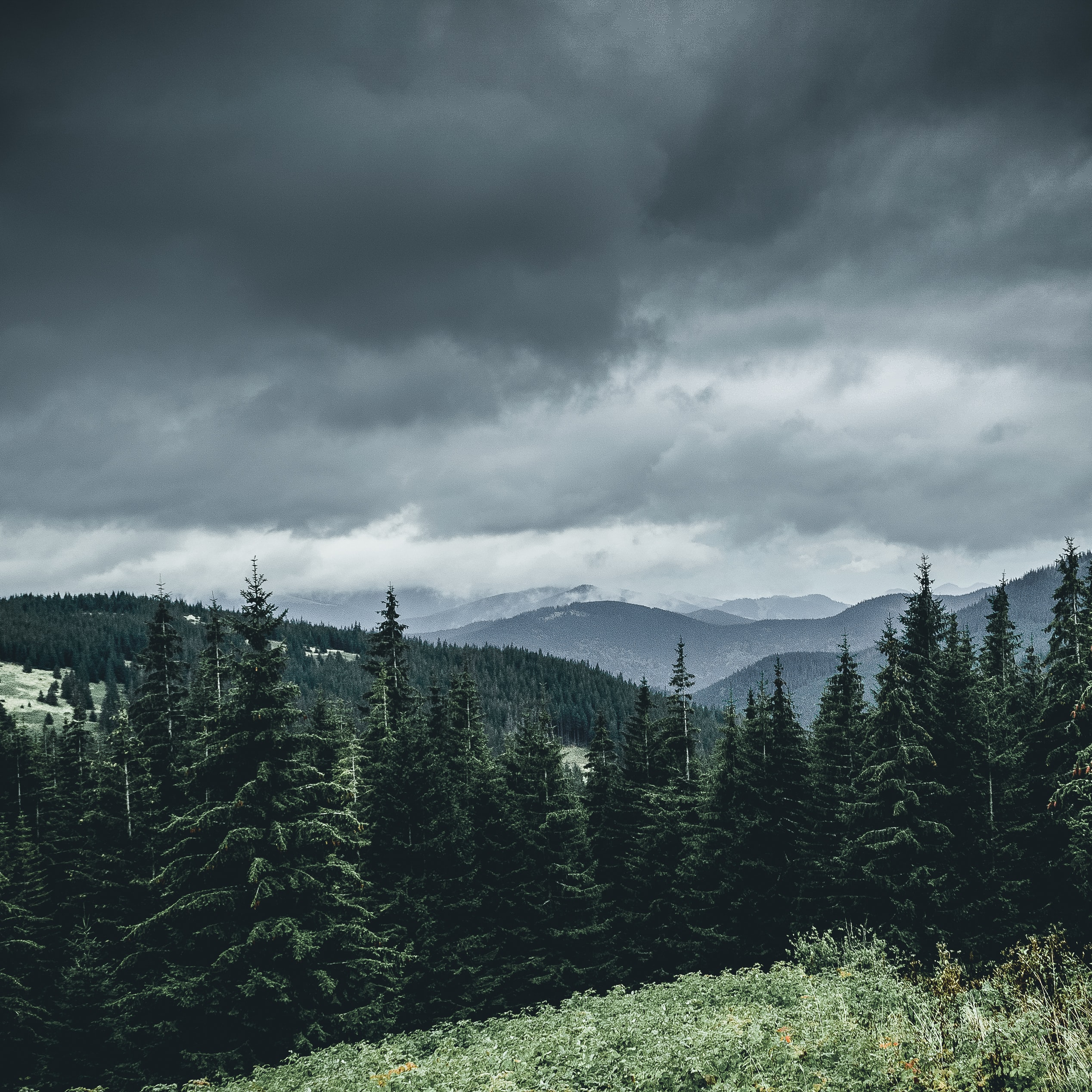 pine trees under cloudy sky