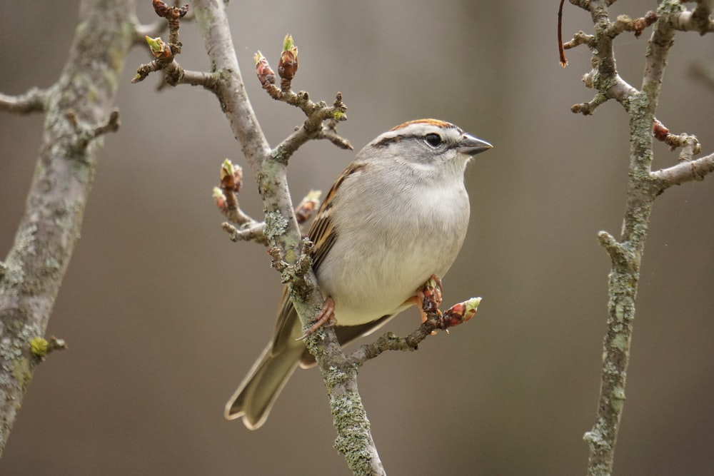 white and brown sparrow on gray branch