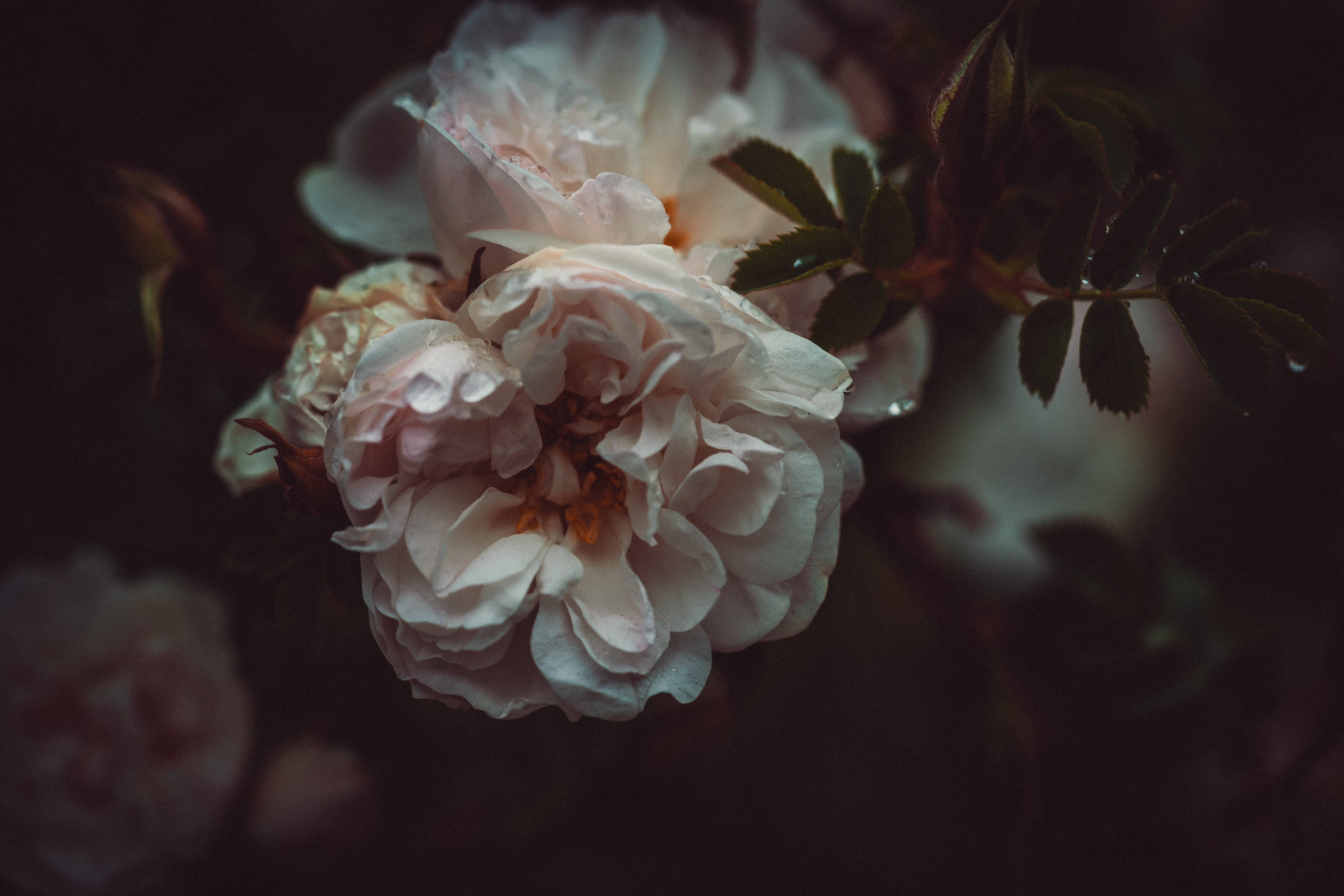 selective focus photography of pink peony