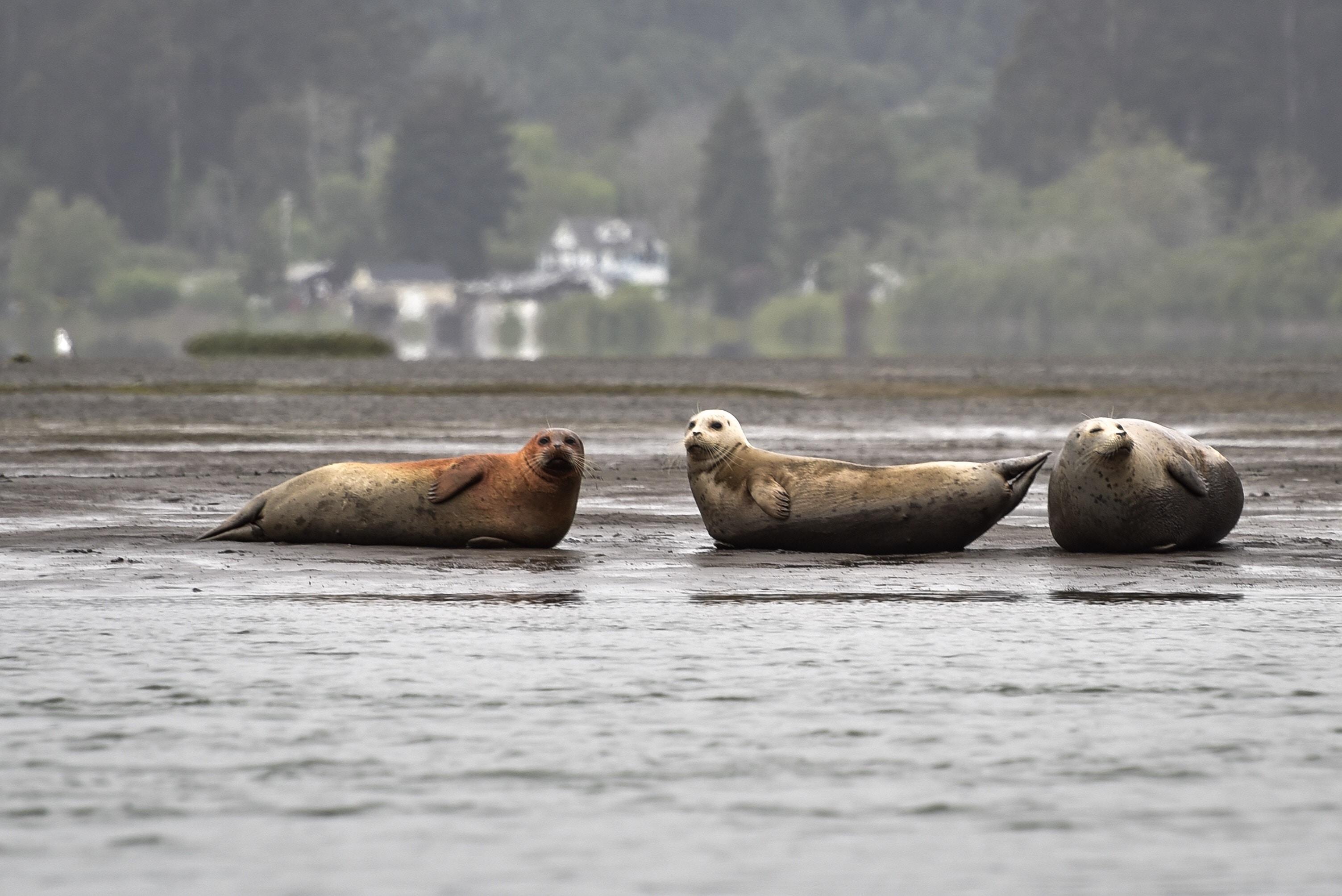 three seals on muddy ground