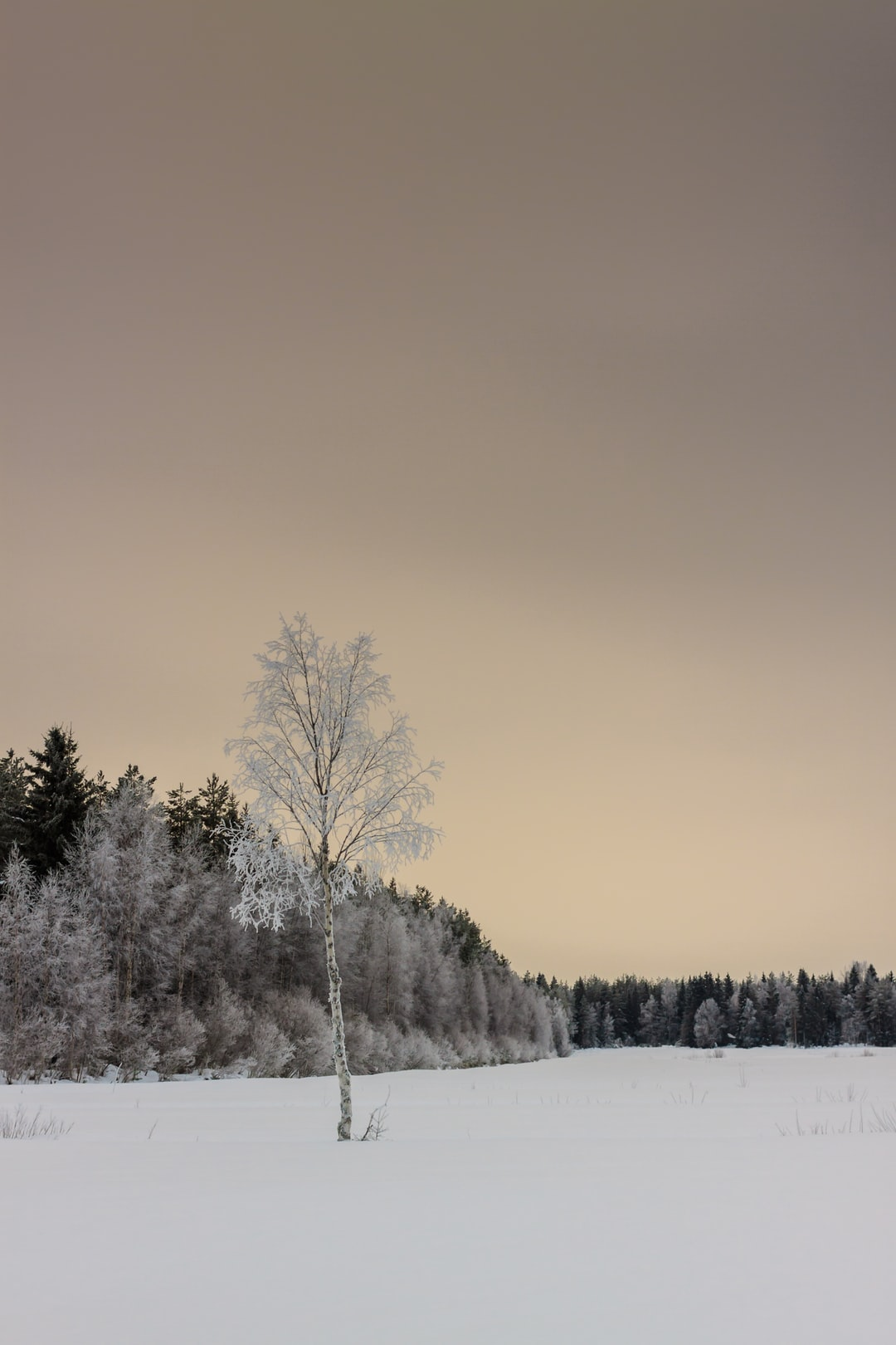 A lonely birch tree completely frozen in the rural Finland.