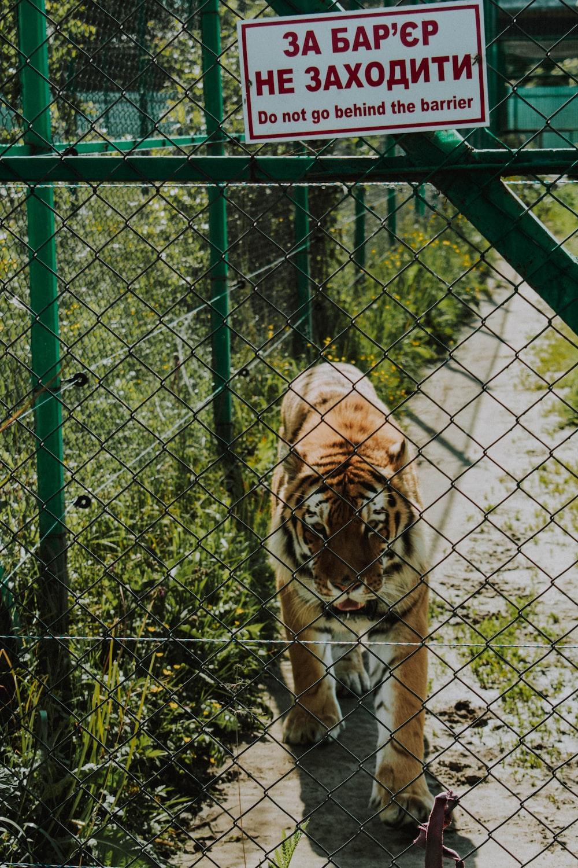 belgian tiger