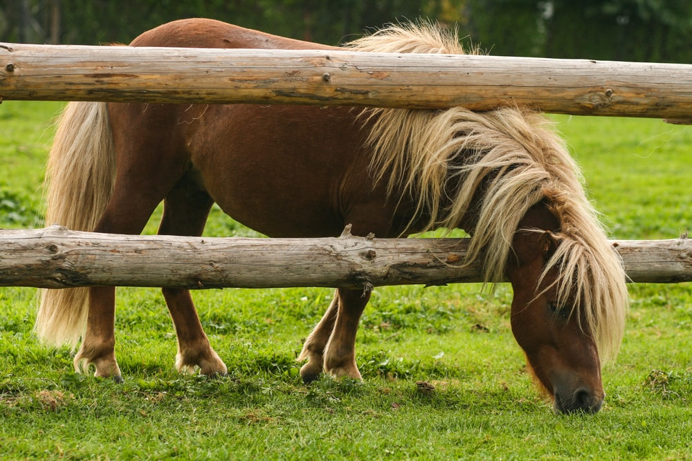 brown pony eating grass near brown wooden fence