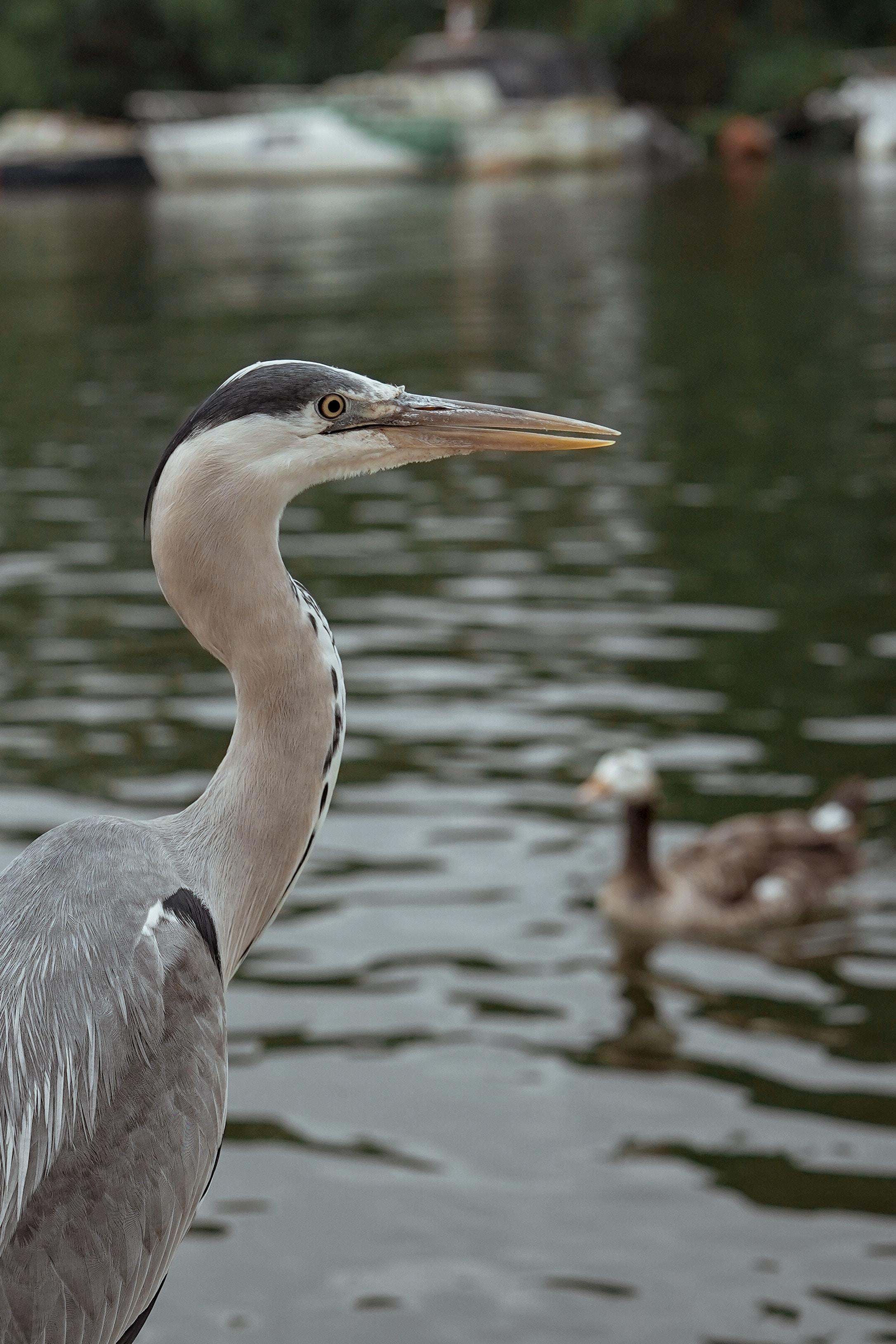long-beaked white and gray bird near body of water