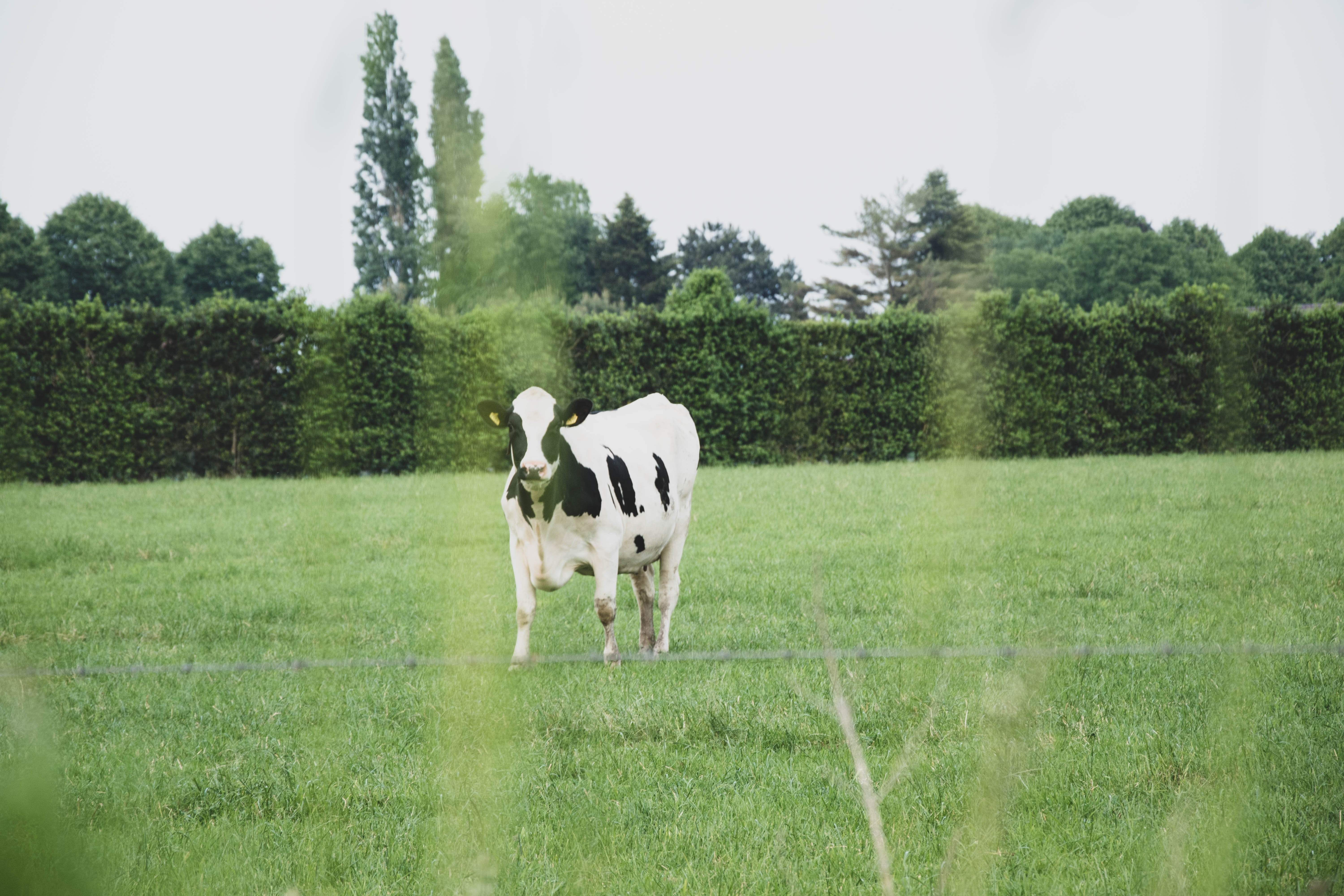 cow standing on field during daytime