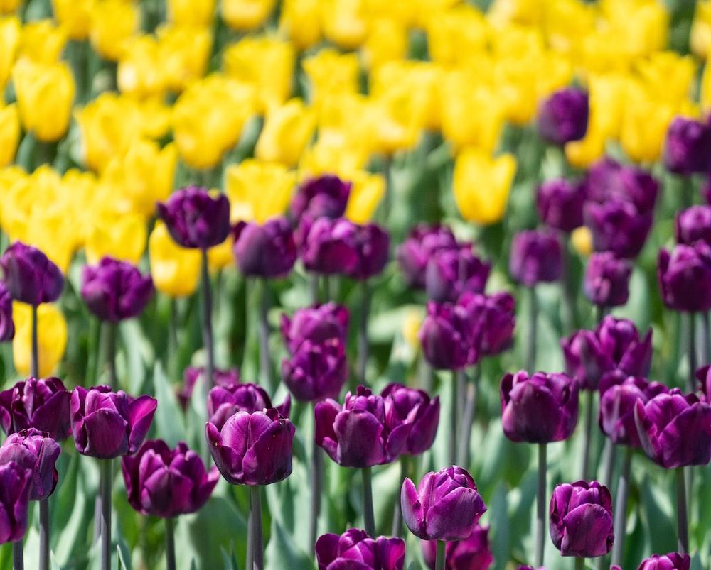 lavender flower in bloom
