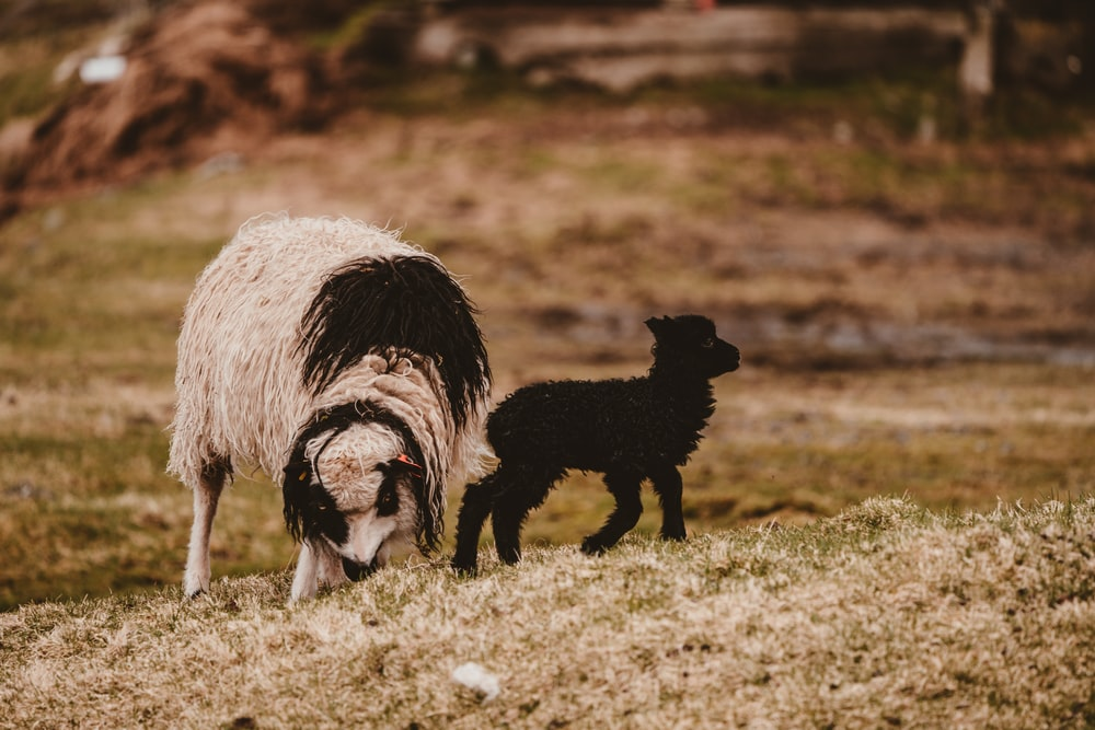 white and black sheep on green grass field