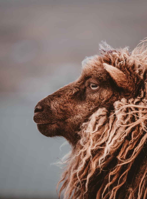 closeup photo of brown goat
