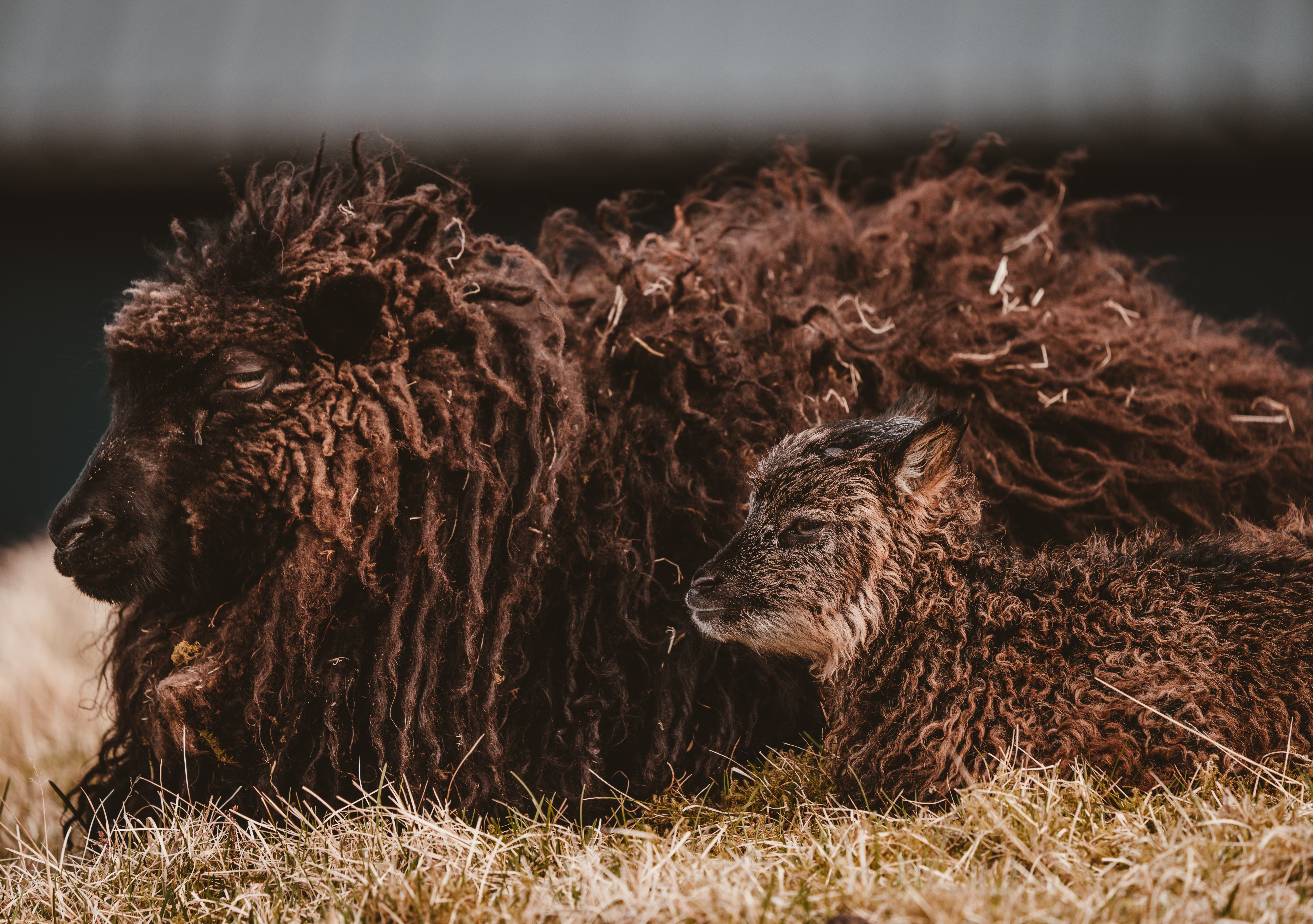 photo of two brown sheep