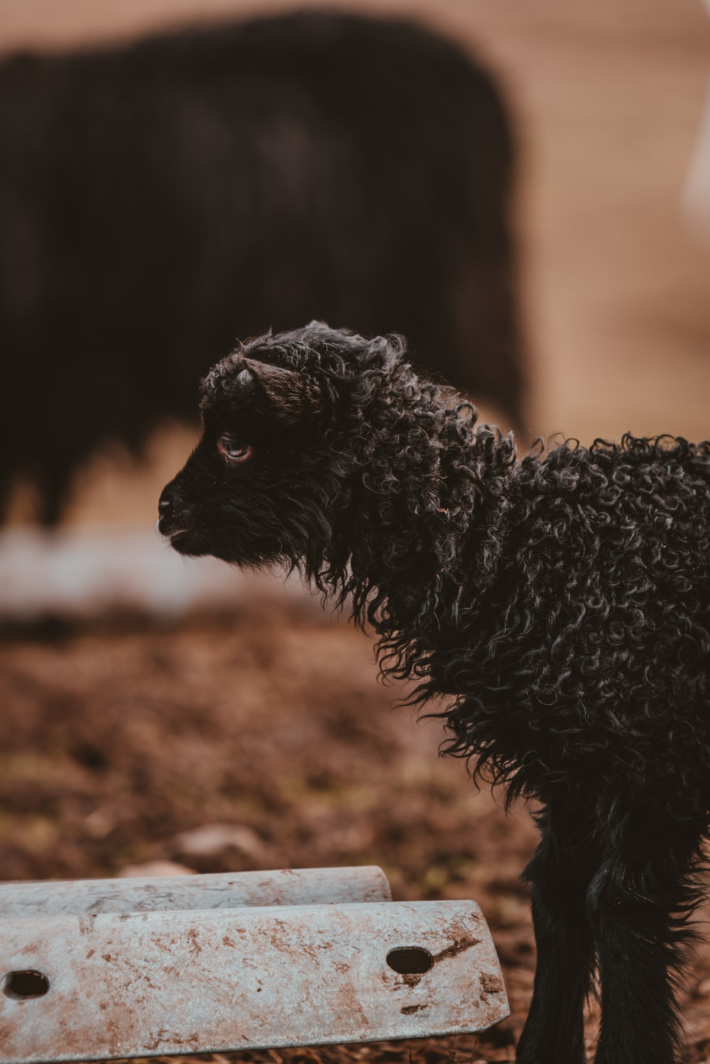 shallow focus photography of black goat