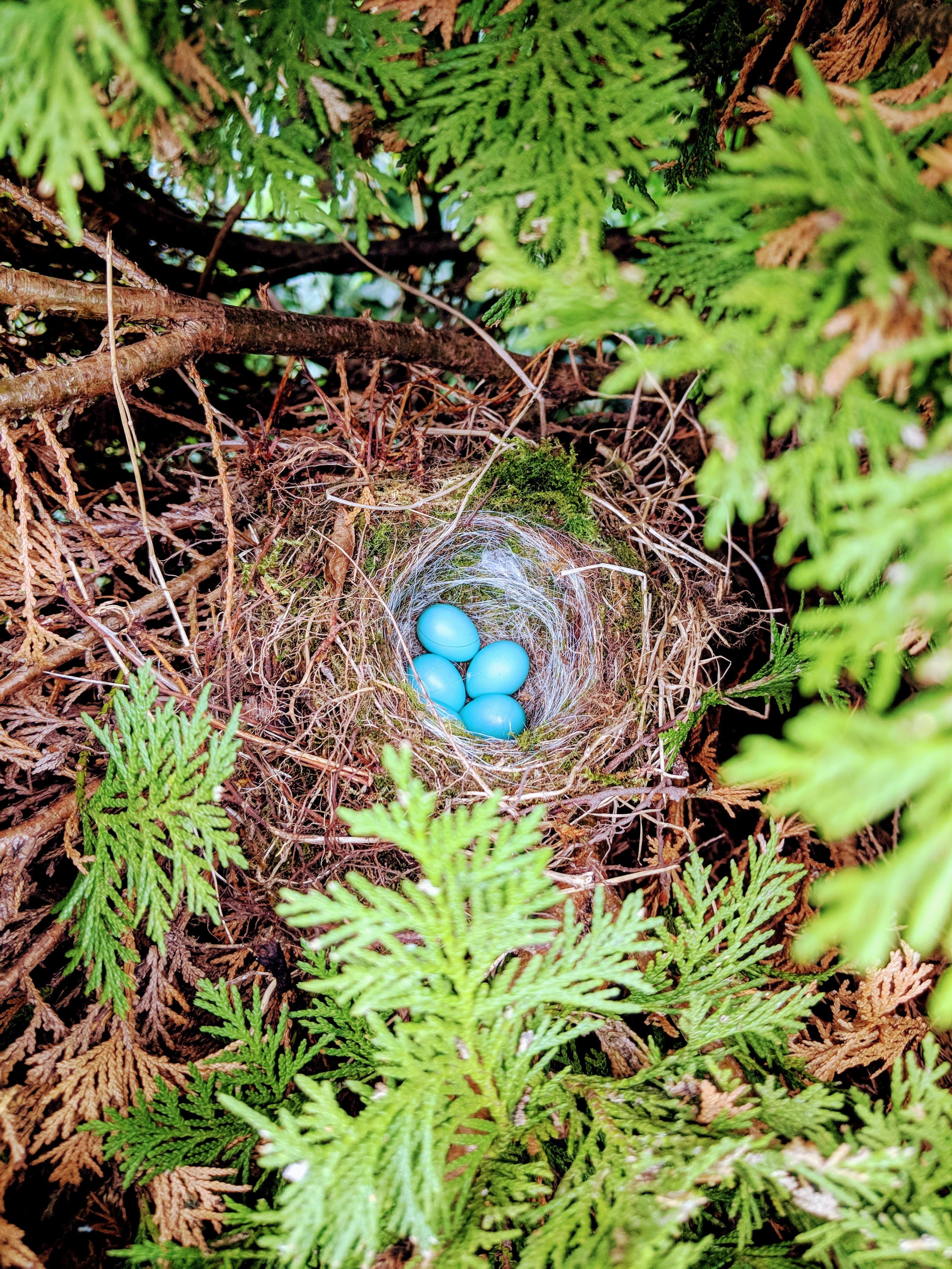 four blue egg on nest