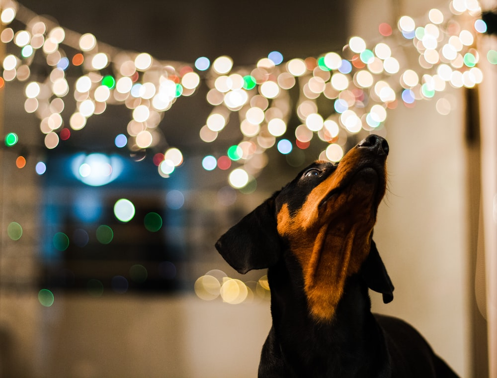 selective focus photography of short-coated black and tan dog