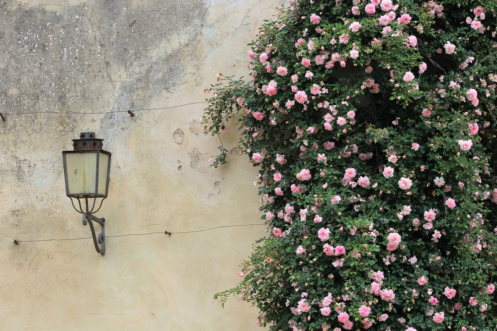 pink petaled flowers near light sconce