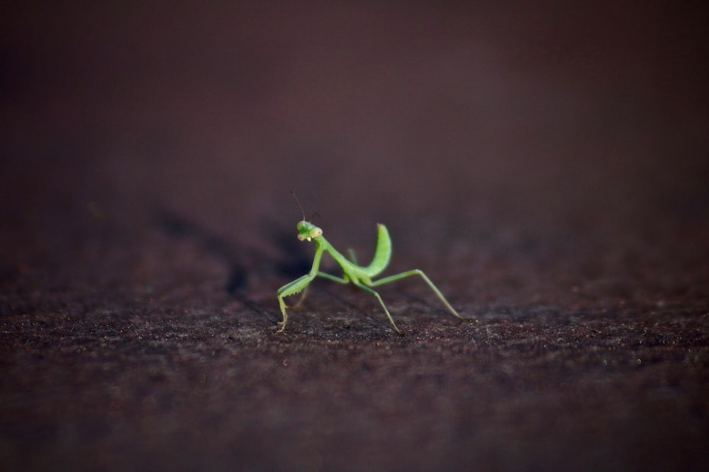 closeup photography of green praying mantis